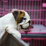 dog meat farms South Korea, boinstag south korea, puppy mills south korea, dog meat consumption south korea, dog slaughterhouses south korea