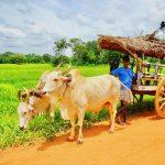 illegal bullock cart races, Tamil Nadu bullock cart race, bullock races, court ban bullock cart race, jallikattu tamil nadu