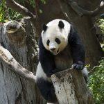 Giant panda girl fall, girl falls panda enclosure, pandas aggressive, giant pandas endangered, endangered species giant pandas, pandas bamboo, pandas vegetarians, panda mating, giant panda mating