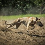 sighthounds, greyhounds, sighthounds pets, afghan hound, polish greyhound, Hungarian Greyhound, Irish Wolfhound, Rampur greyhounds