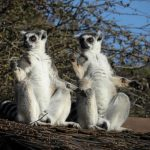 Lemur, yoga, Goat, England