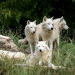 wolf pack behaviour, wolf dogs packs, wolves selfless packs, dogs selfish packs, alpha dog mentality
