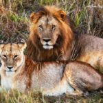 NewsOnPets, Dodo, thebettterIndia, Gir lions Asiatic lions