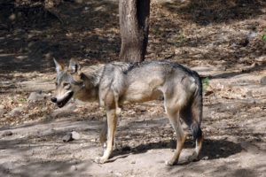 NewsOnPets, Indian Grey Wolf