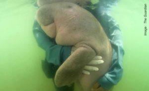 Baby dugong - The Guardian