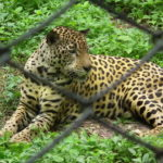 Leopard at Nehru Zoo Hyderabad