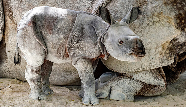 news on pets, pet news, animal online, animal news, indian rhinoceros, indian rhino, wildlife, sanctuary, national parks, assam, national park